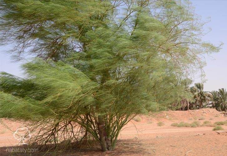 باركنسونيا نباتاتي