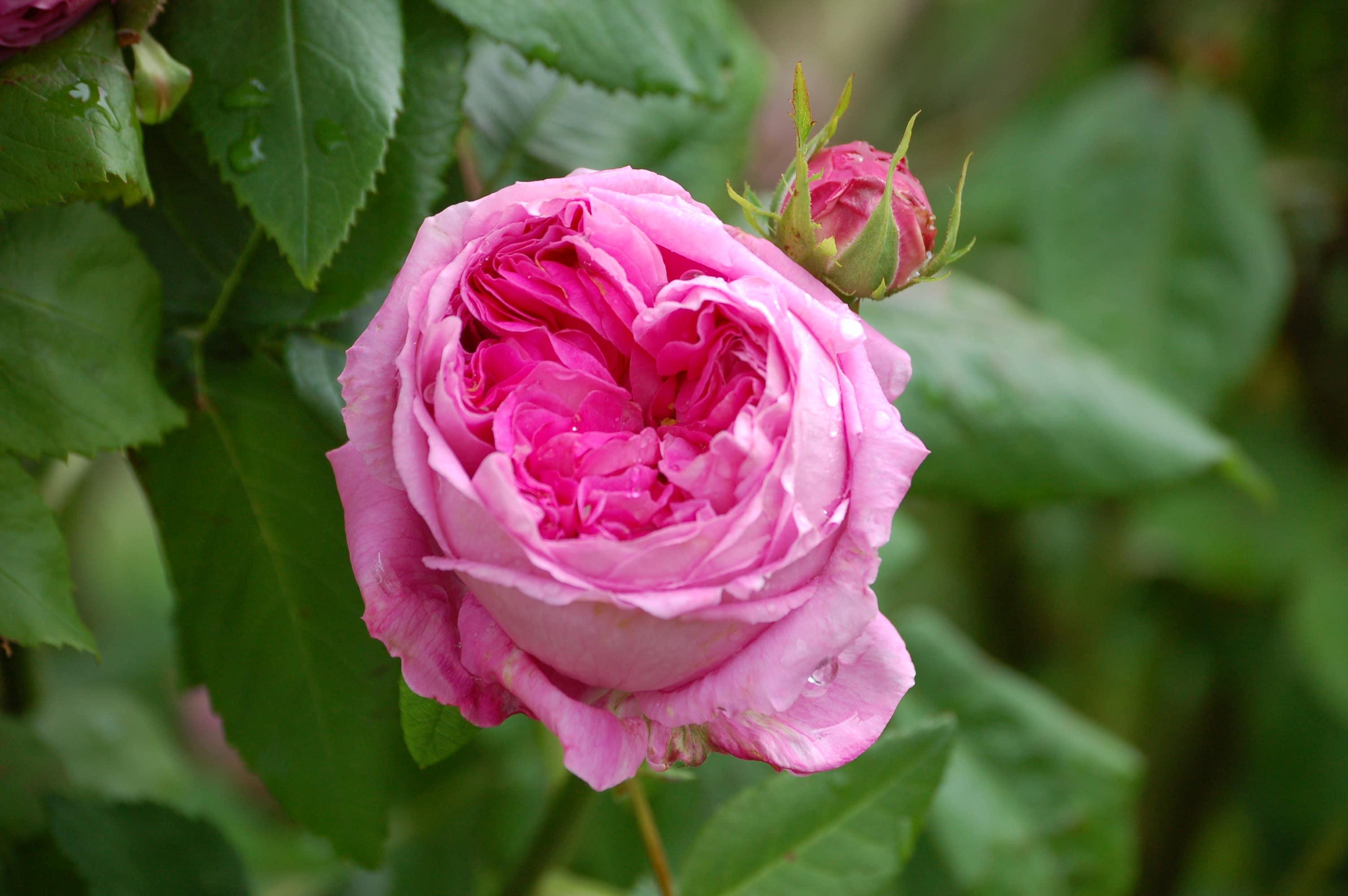الورد الجوري
