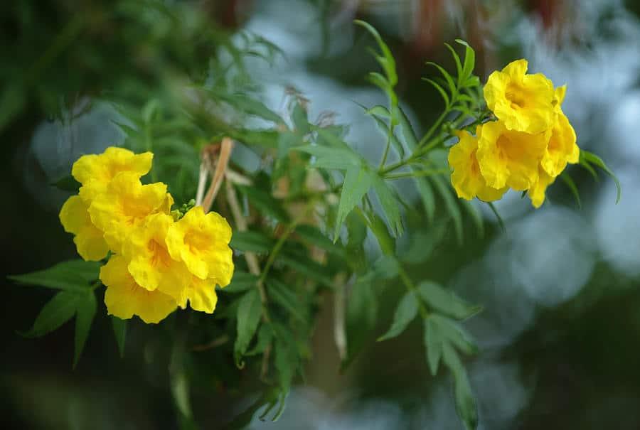 تيكوما صفراء
