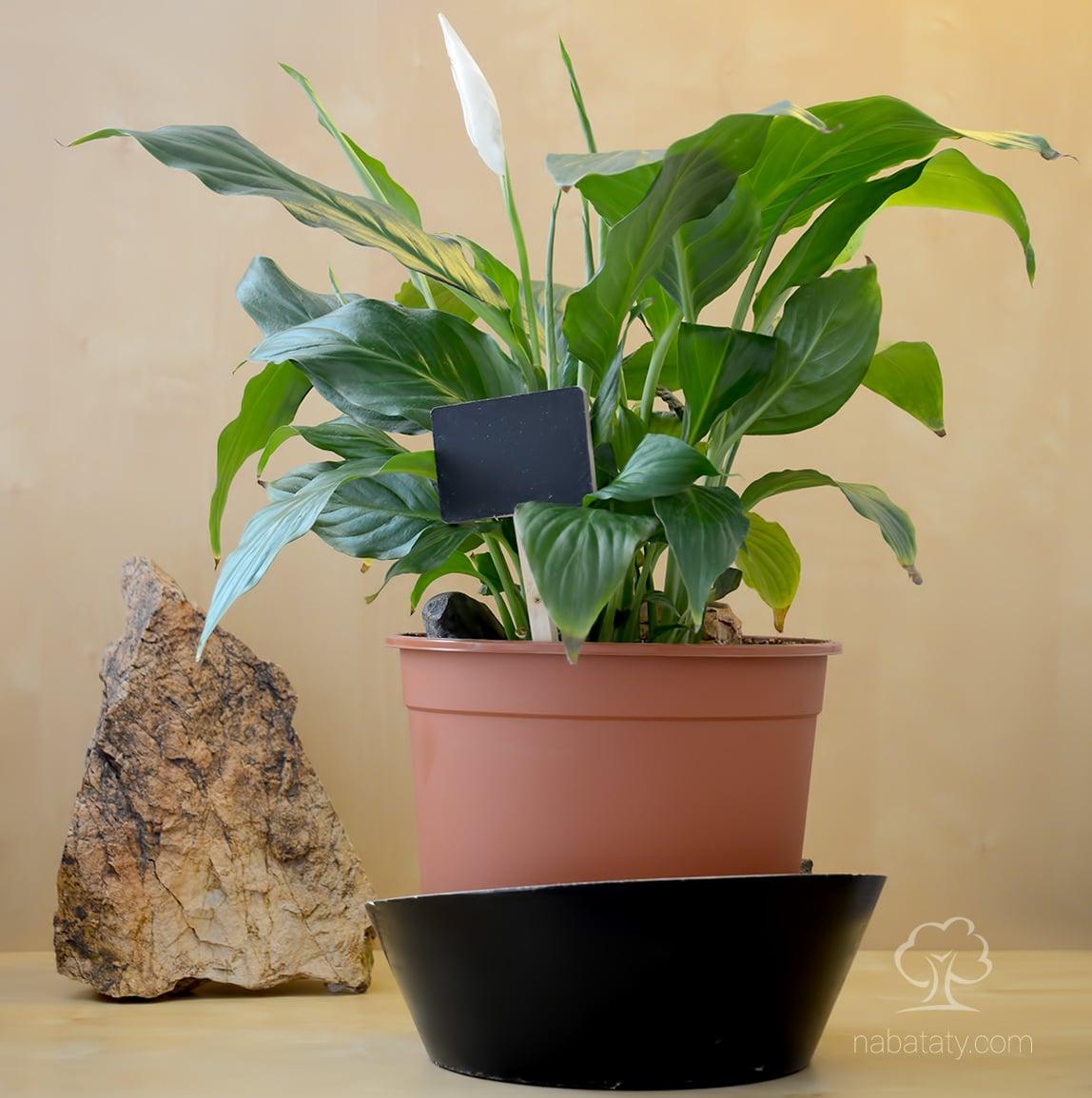 الاشرعة البيضاء نباتاتي