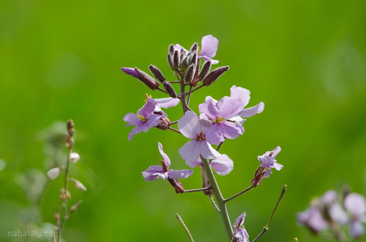أزهار الخزامى