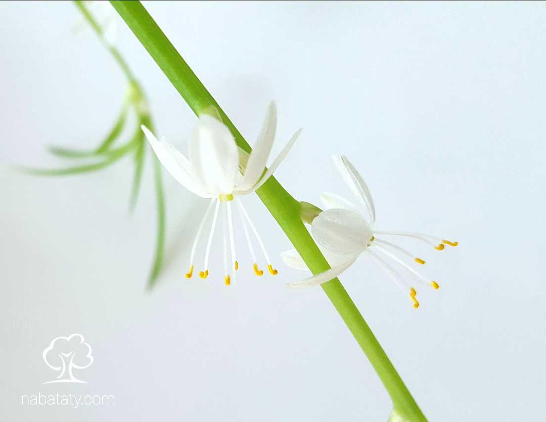 أزهار العنكبوت