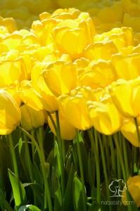 زهور التوليب