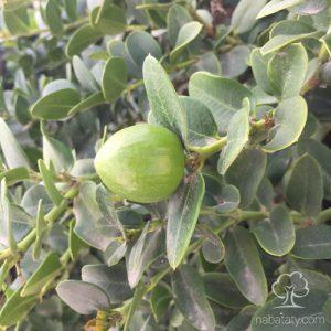 ثمرة كاريسا
