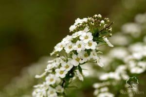 زهور الأليسم