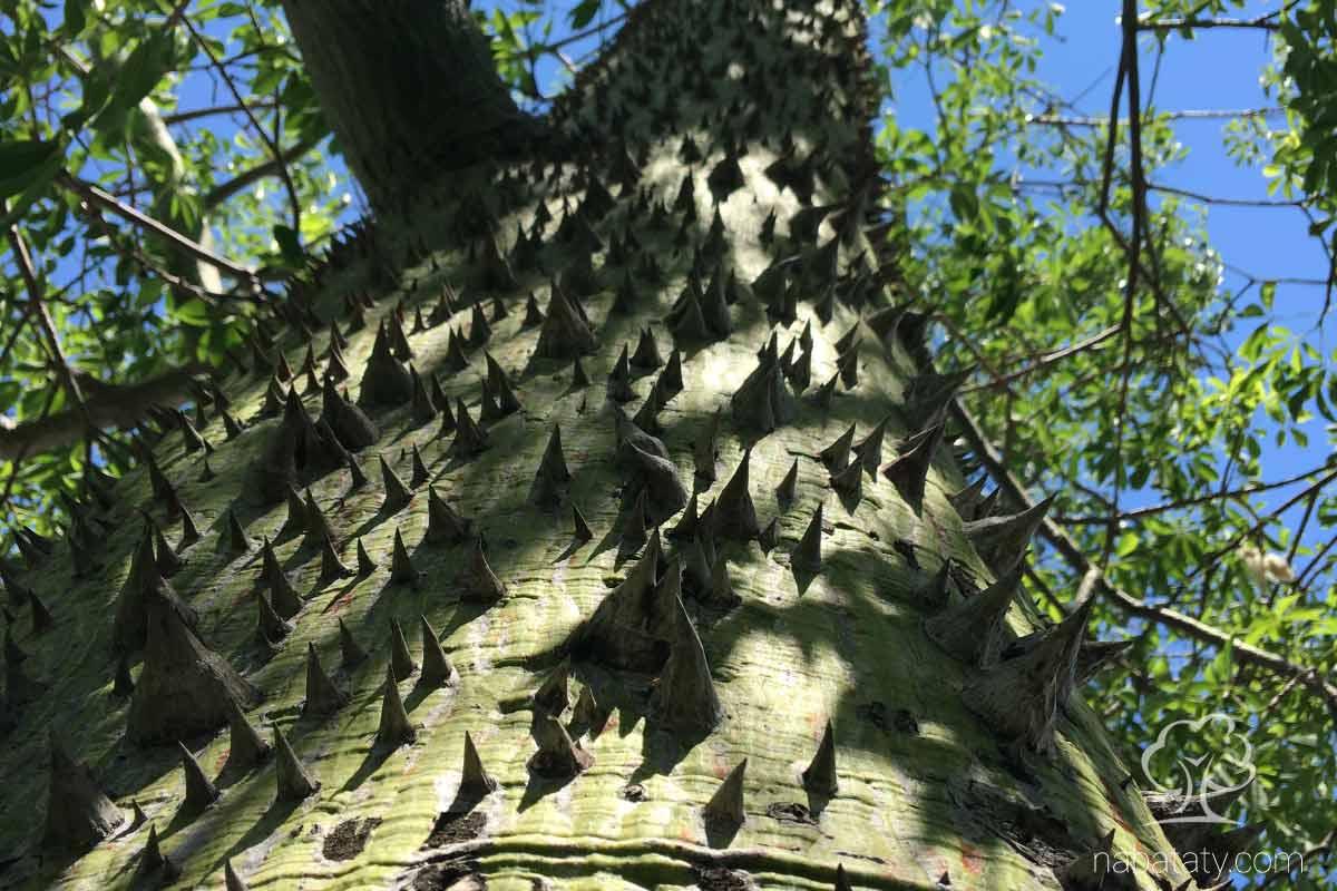 أشواك شجرة خيط الحرير