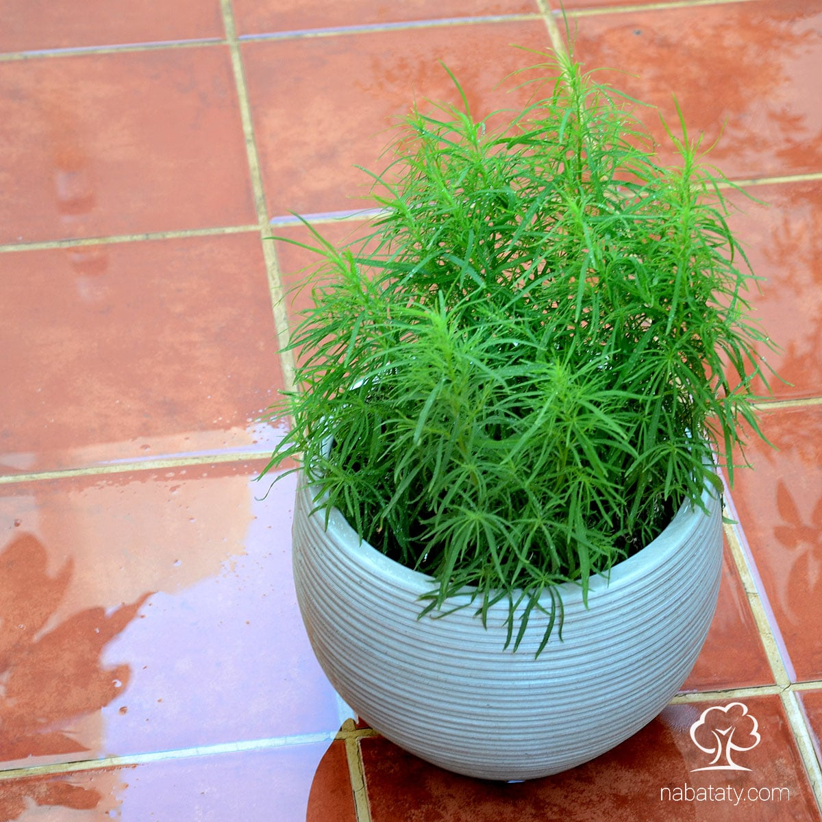 مكنسة الجنة الكوشيا نباتاتي