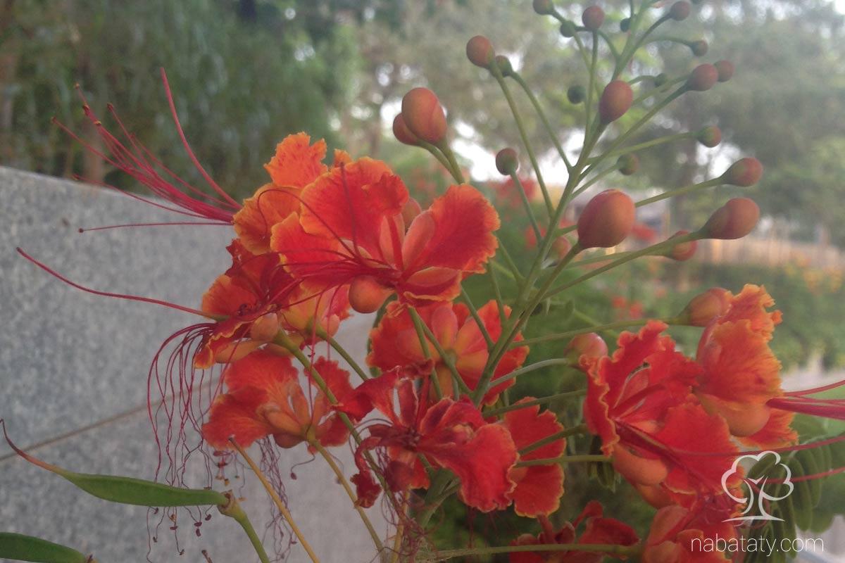 أزهار زهرة الطاووس