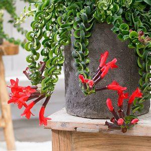 نبتة احمر الشفاه