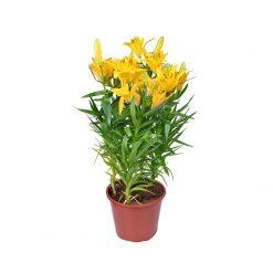 زنبق ازهار صفراء