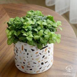 فيتونيا خضراء في اصيص سيراميك ملون