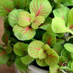فيتونيا ملونة في اصيص سيراميك مشجر
