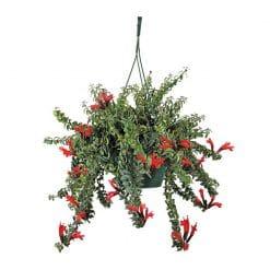 نبتة احمر الشفاة في اصيص معلق