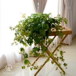 نبات ورق العنب كبيرة في اصيص معلق