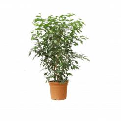 فيكس بنجامينا خضراء