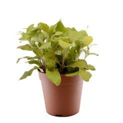 فيتونيا خضراء كبيرة الأوراق